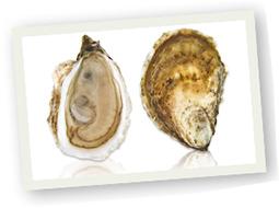 oysters-nova