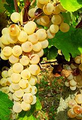 grape-5