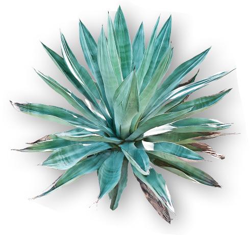 tequila-plant